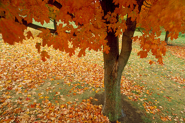 Potter Lake Maple