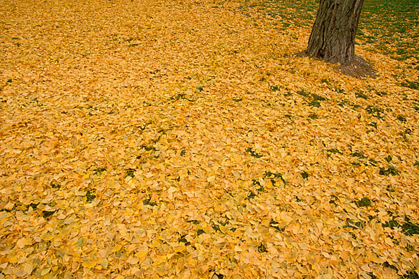 Strong Hall Ginko Leaves